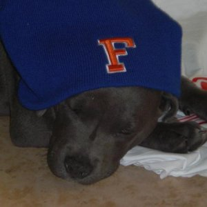 First day home and already a gator fan!!  11 weeks